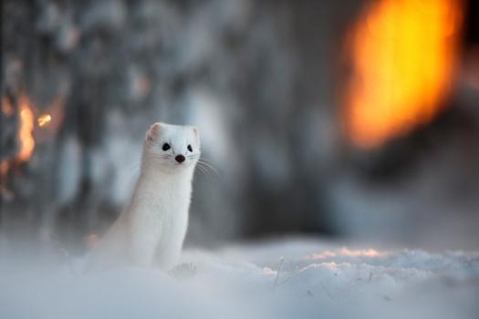 Mitä talvi tarkoittaa? – Luontoilta lapsiperheille, Saariselkä