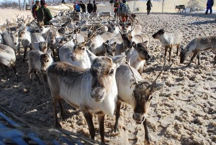 Rovaniemi Reindeer Sprint Race
